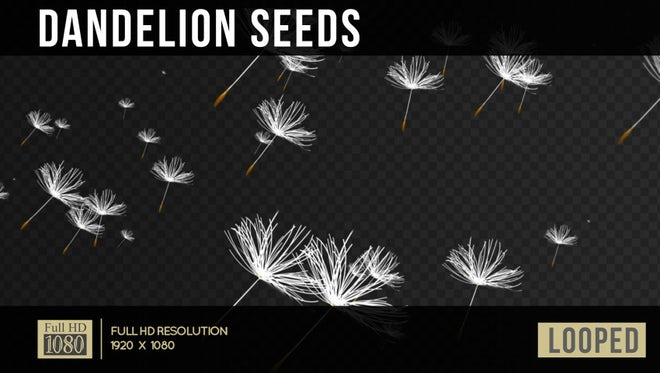 Dandelion Seeds: Stock Motion Graphics