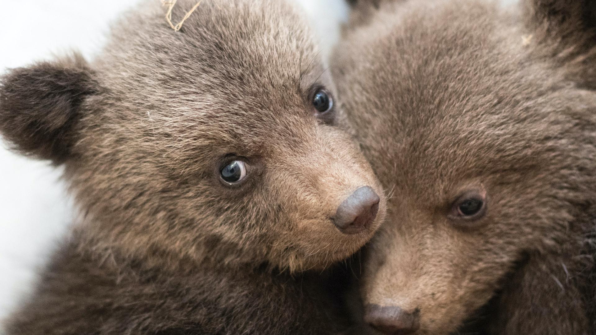 Wild Release of Brown Bears: Bulgaria & Greece