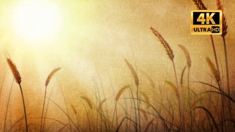 Wheat Field: Stock Motion Graphics