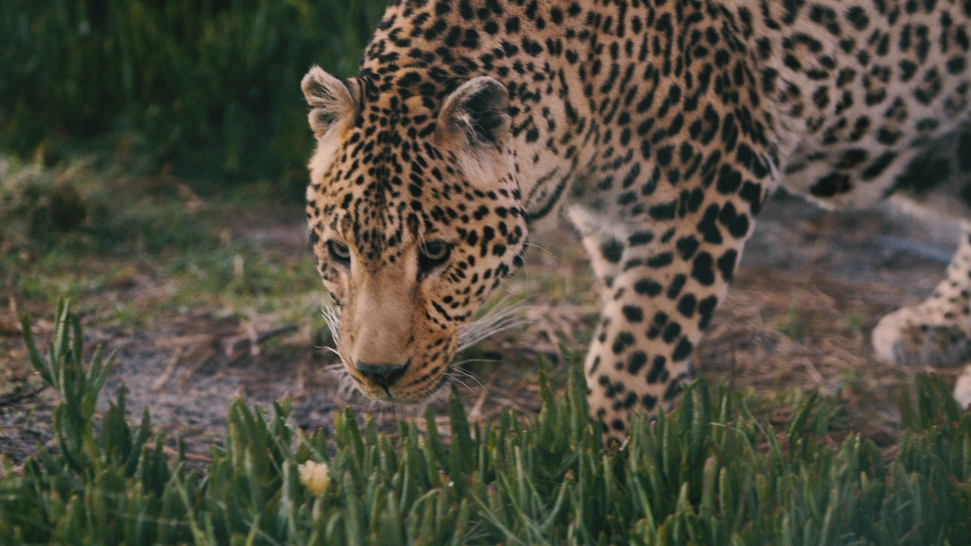 Panthera Africa: Big Cat Sanctuary