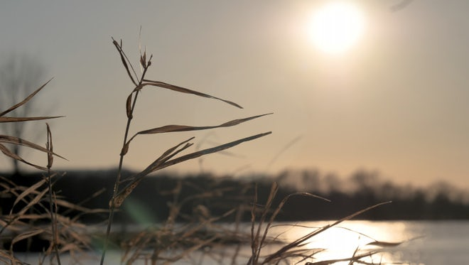 Reed Plant Blowing In Wind: Stock Video