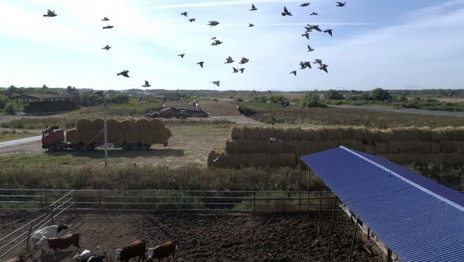 Flock Of Birds Flying Together: Stock Video