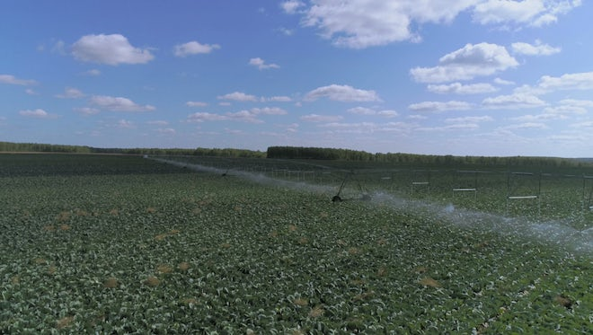 Large Cabbage Farm Under Irrigation: Stock Video