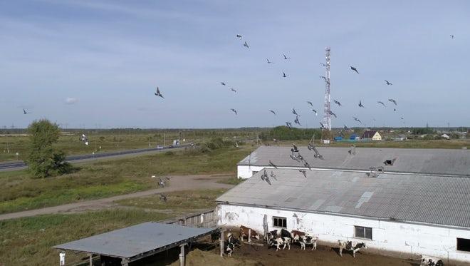 Flock Of Birds Over Farm: Stock Video
